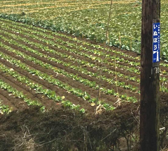 畑に一直線に作られている小山が「畝(うね)」です。写真は銚子電鉄 犬吠駅ホームの目の前の光景です。(1月撮影)